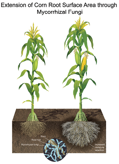 Extension of corn root surface area through mycorrhizal fungi