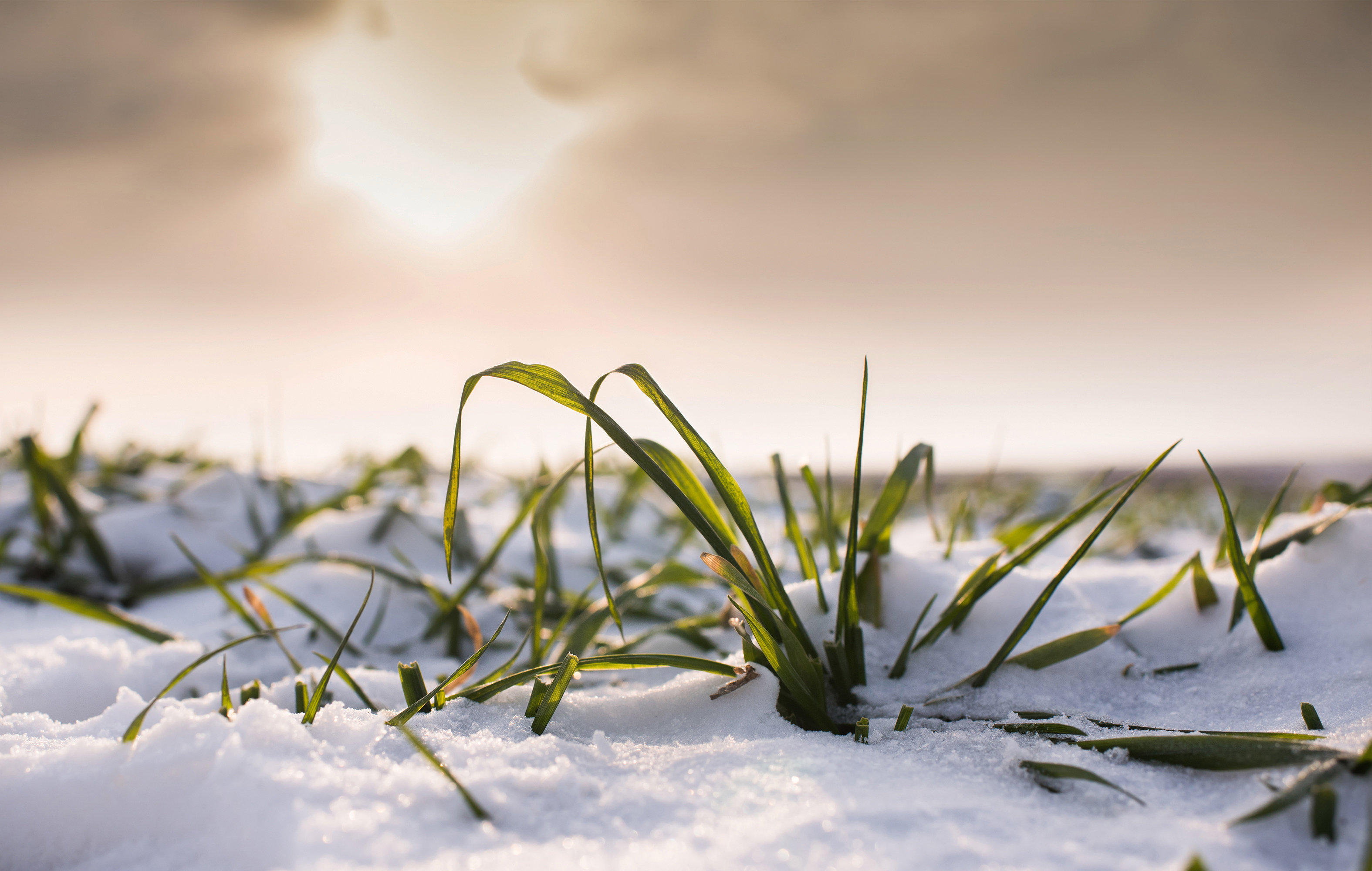 Walking in a winter wonderland…of green cover crops peeking through snow, fall-seeded small grains, and fields that can't wait to be frost-seeded soon.